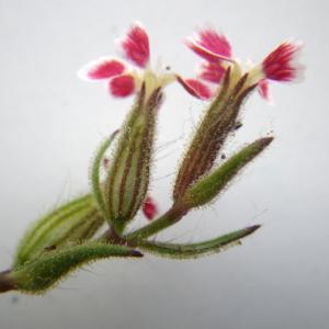 Photographie n°2177705 du taxon Silene gallica subsp. quinquevulnera (L.) Á.Löve & D.Löve [1961]