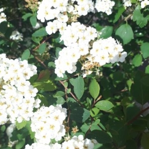 - Spiraea chamaedryfolia L. [1753]