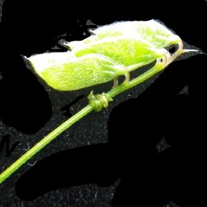 Photographie n°2177998 du taxon Vicia hirsuta (L.) Gray [1821]