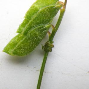 Photographie n°2178004 du taxon Vicia hirsuta (L.) Gray [1821]