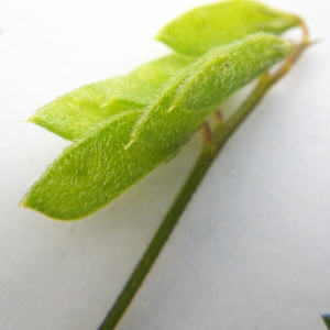 Photographie n°2178005 du taxon Vicia hirsuta (L.) Gray [1821]