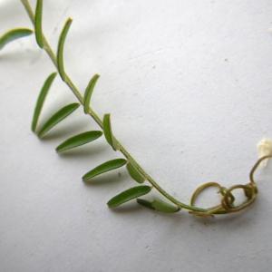 Photographie n°2178010 du taxon Vicia hirsuta (L.) Gray [1821]