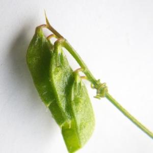 Photographie n°2178011 du taxon Vicia hirsuta (L.) Gray [1821]