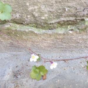 Photographie n°2178160 du taxon Cymbalaire des murailles