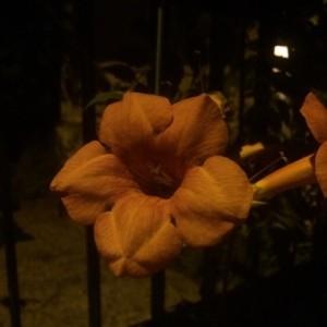 Campsis radicans (L.) Bureau (Bignone à fleurs jaunes)