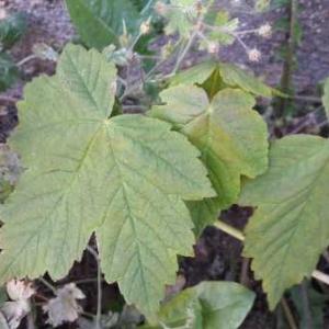 Photographie n°2178655 du taxon Acer pseudoplatanus L.