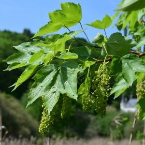 Photographie n°2178762 du taxon Acer pseudoplatanus L.
