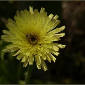 Photographie n°2179447 du taxon Urospermum dalechampii (L.) Scop. ex F.W.Schmidt [1795]