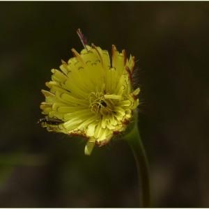 Photographie n°2179448 du taxon Urospermum dalechampii (L.) Scop. ex F.W.Schmidt [1795]