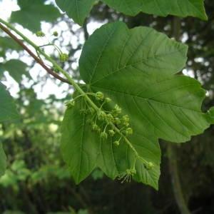 Photographie n°2179544 du taxon Acer pseudoplatanus L.