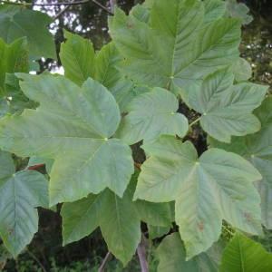 Photographie n°2179545 du taxon Acer pseudoplatanus L.