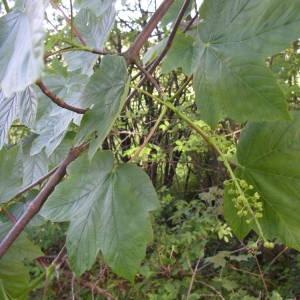 Photographie n°2179550 du taxon Acer pseudoplatanus L.