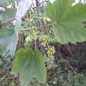 Photographie n°2179551 du taxon Acer pseudoplatanus L.