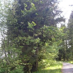 Photographie n°2179553 du taxon Acer pseudoplatanus L.