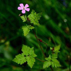 - Geranium robertianum L.