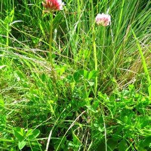 Photographie n°2179815 du taxon Trifolium thalii Vill. [1779]