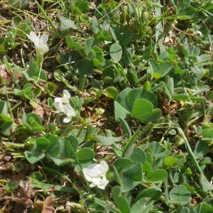 Photographie n°2179893 du taxon Trifolium subterraneum L. [1753]