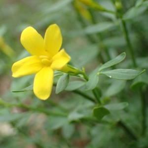 Photographie n°2179939 du taxon Jasminum fruticans L. [1753]