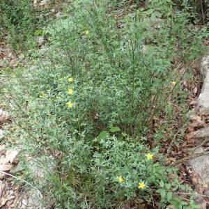 Photographie n°2179941 du taxon Jasminum fruticans L. [1753]