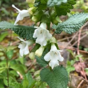 Photographie n°2180207 du taxon Melittis melissophyllum L. [1753]