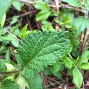 Photographie n°2180208 du taxon Melittis melissophyllum L. [1753]