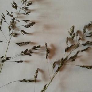 Photographie n°2180336 du taxon Poa pratensis L. [1753]