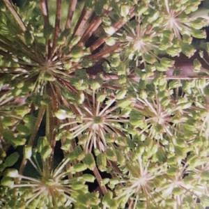 Photographie n°2180381 du taxon Angelica sylvestris L. [1753]