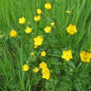 Photographie n°2180406 du taxon Ranunculus bulbosus L. [1753]