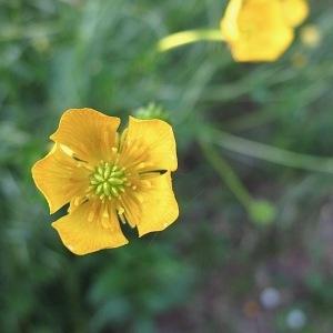 Photographie n°2180407 du taxon Ranunculus bulbosus L. [1753]