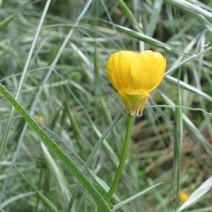 Photographie n°2180408 du taxon Ranunculus bulbosus L. [1753]