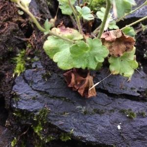 Photographie n°2180430 du taxon Saxifraga granulata L.