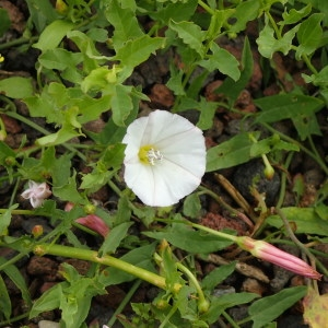 - Convolvulus sepium subsp. sepium