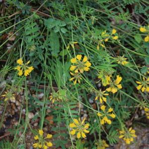 Photographie n°2180718 du taxon Coronilla minima subsp. lotoides (W.D.J.Koch) Nyman [1878]