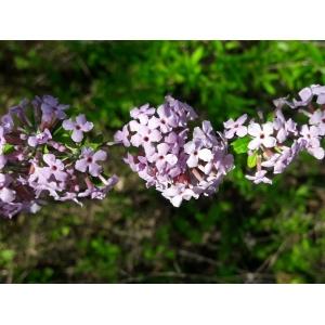 Buddleja alternifolia Maxim. (Alternate-leaved Butterfly-bush)