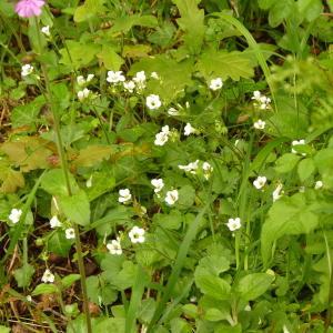 Photographie n°2181354 du taxon Saxifraga granulata L.