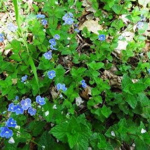 Photographie n°2181355 du taxon Veronica chamaedrys L. [1753]