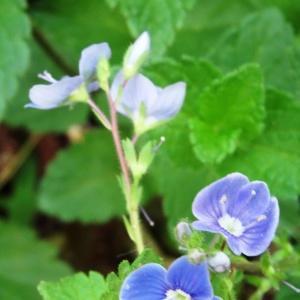 Photographie n°2181358 du taxon Veronica chamaedrys L. [1753]