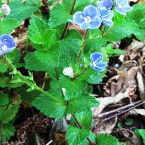 Photographie n°2181362 du taxon Veronica chamaedrys L. [1753]