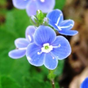 Photographie n°2181363 du taxon Veronica chamaedrys L. [1753]