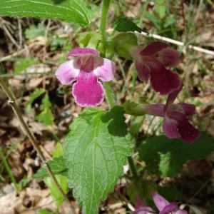 Photographie n°2181398 du taxon Melittis melissophyllum L. [1753]