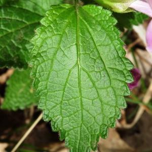Photographie n°2181400 du taxon Melittis melissophyllum L. [1753]
