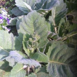 - Salvia argentea L. [1762]
