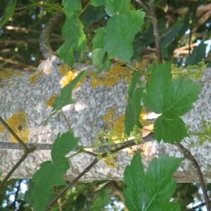 Photographie n°2182486 du taxon Acer pseudoplatanus L.