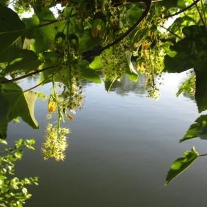 Photographie n°2182491 du taxon Acer pseudoplatanus L.