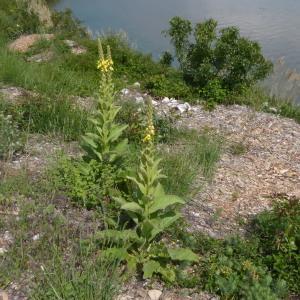 Photographie n°2182537 du taxon Verbascum L. [1753]