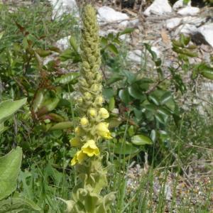 Photographie n°2182539 du taxon Verbascum L. [1753]