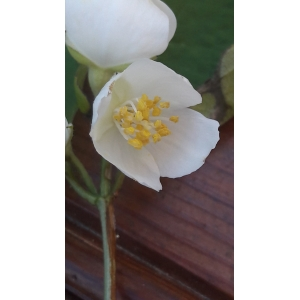 Philadelphus sp. [1753]