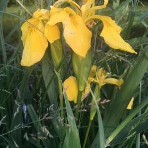 Photographie n°2182742 du taxon Iris pseudacorus L. [1753]