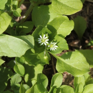 Photographie n°2183252 du taxon Stellaria media (L.) Vill. [1789]