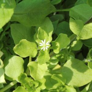 Photographie n°2183253 du taxon Stellaria media (L.) Vill. [1789]
